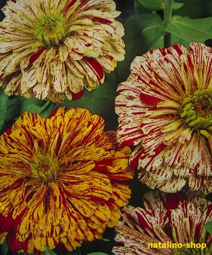 Zinnien *Peppermint Stick*