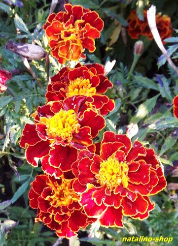 Tagetes *Brocade Red*