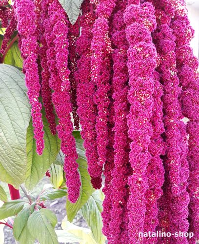 Amaranth *Love Lies Bleeding*