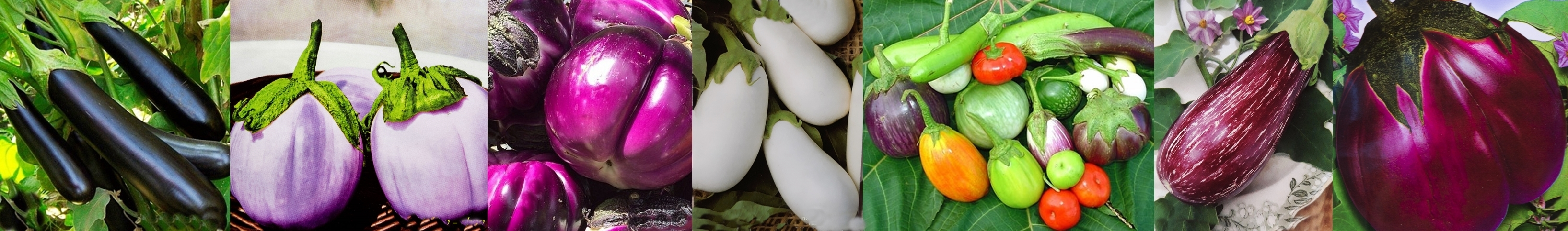 Aubergine_Long_Purple-horz